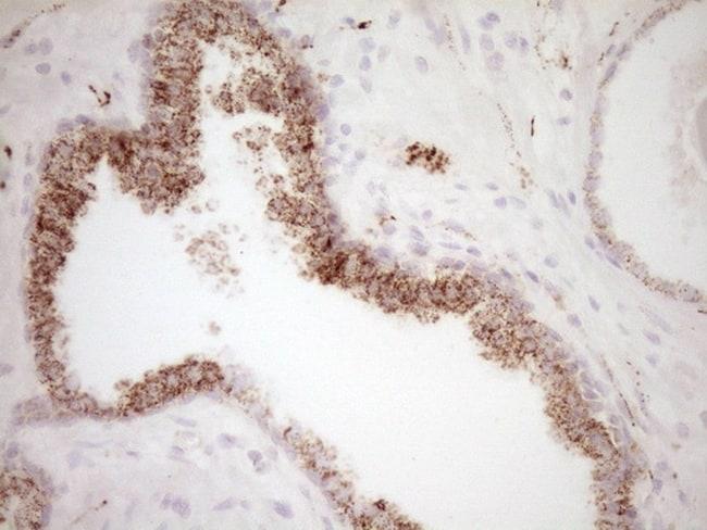 VIP Antibody in Immunohistochemistry (Paraffin) (IHC (P))