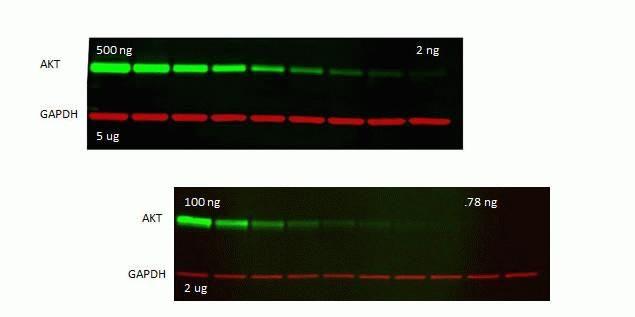 Rabbit IgG (H+L) Antibody in Western Blot (WB)