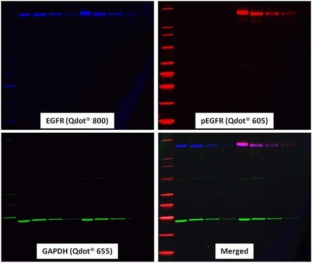 Goat IgG (H+L) Antibody in Western Blot (WB)