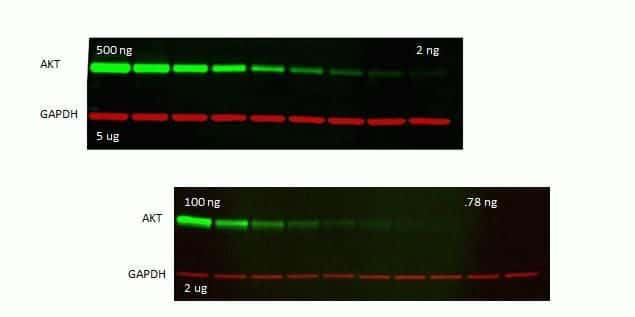 Rabbit IgG (H+L) Secondary Antibody in Western Blot (WB)