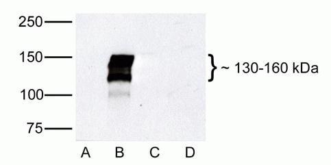 ZO-2 Antibody in Western Blot (WB)