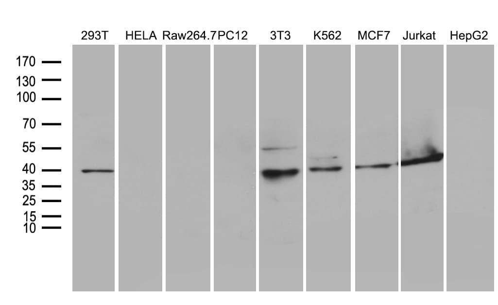 WDR77 Antibody in Western Blot (WB)