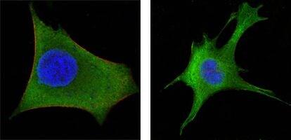 WNT1 Antibody in Immunofluorescence (IF)
