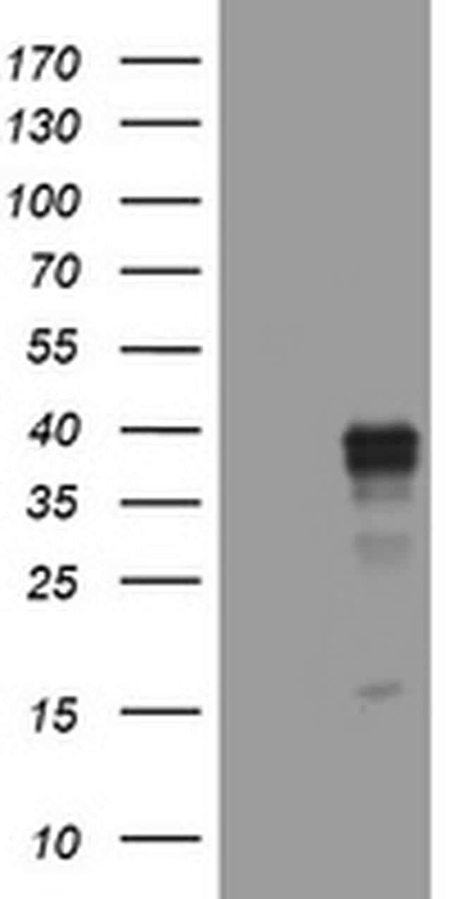WNT3 Antibody in Western Blot (WB)