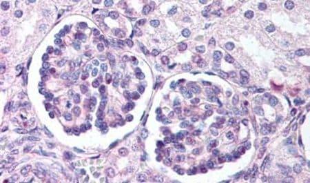 WNT9B Antibody in Immunohistochemistry (Paraffin) (IHC (P))