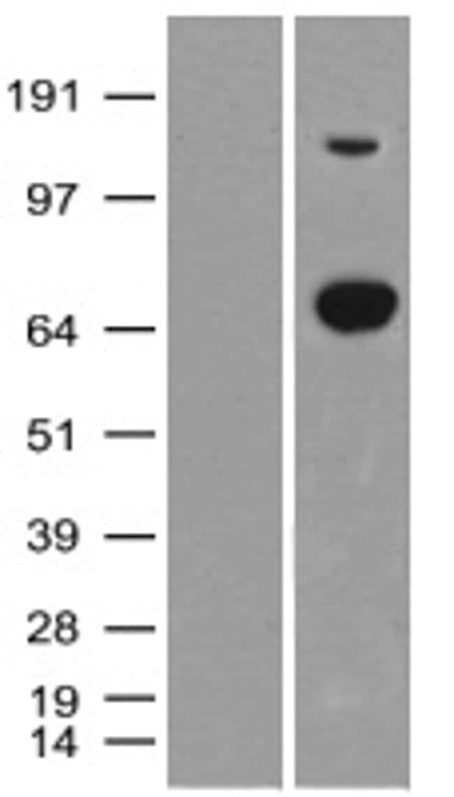 XPNPEP1 Antibody in Western Blot (WB)
