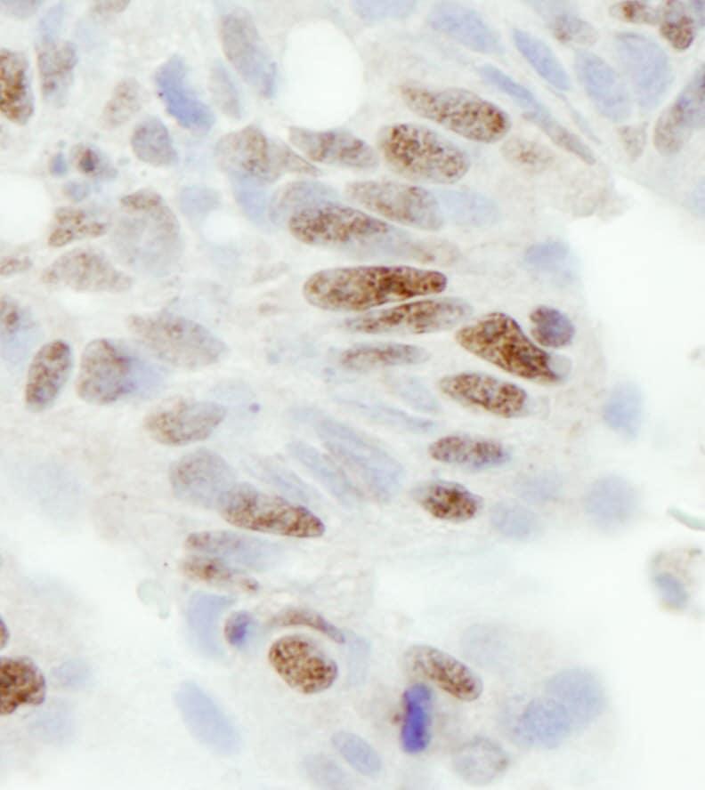ZC3H11A Antibody in Immunohistochemistry (IHC)
