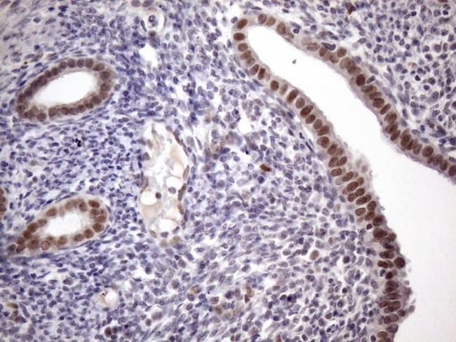 ZC3H8 Antibody in Immunohistochemistry (Paraffin) (IHC (P))