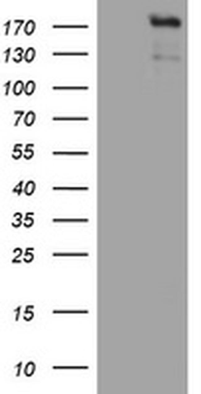 ZEB2 Antibody in Western Blot (WB)