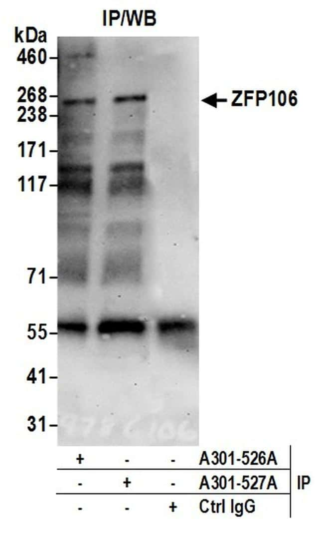 ZFP106 Antibody in Western Blot (WB)