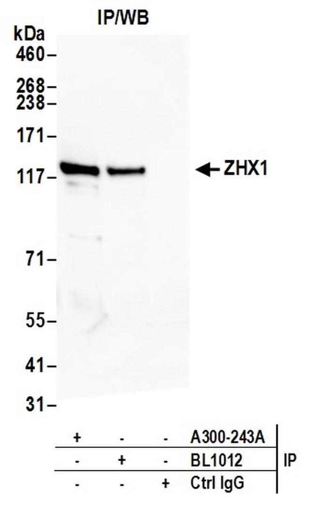 ZHX1 Antibody in Western Blot (WB)