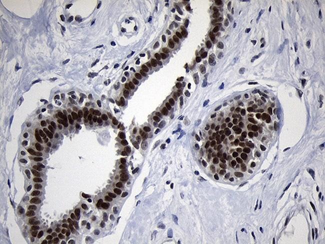 ZHX2 Antibody in Immunohistochemistry (Paraffin) (IHC (P))