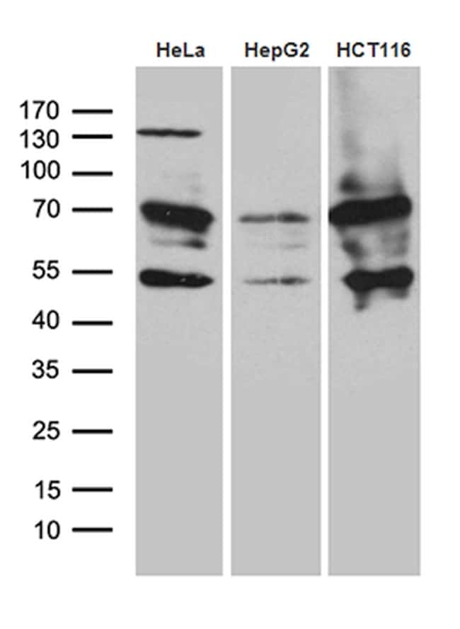 ZNF2 Antibody in Western Blot (WB)