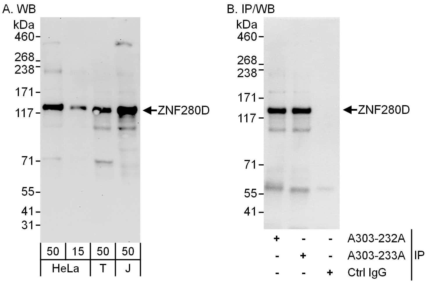 ZNF280D Antibody in Western Blot (WB)