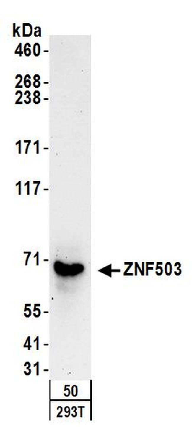ZNF503 Antibody in Western Blot (WB)