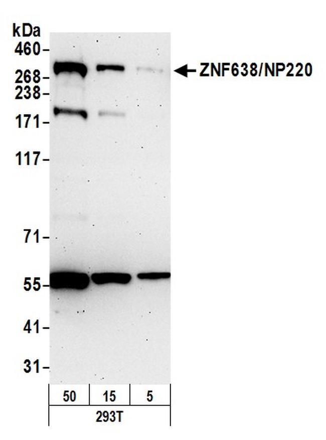ZNF638/NP220 Antibody in Western Blot (WB)