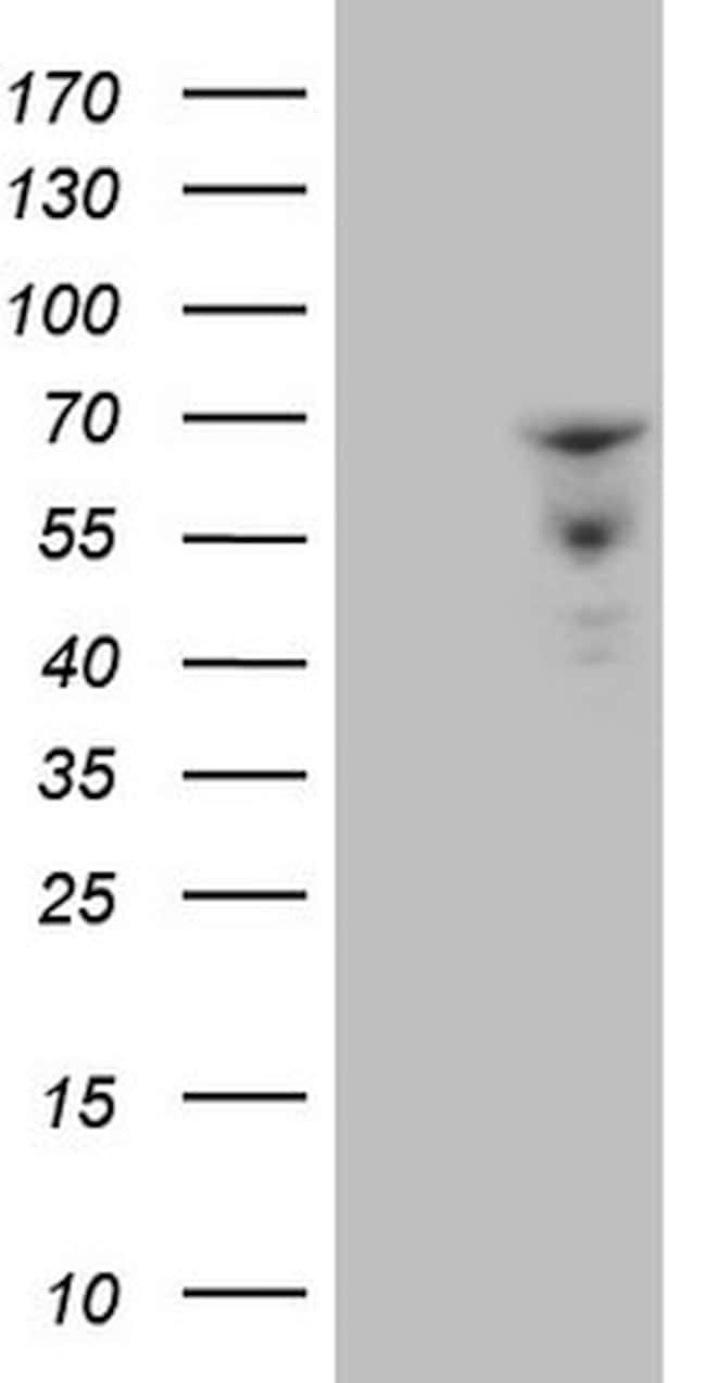 ZNF79 Antibody in Western Blot (WB)