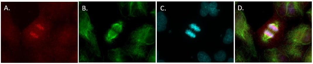 alpha Tubulin Antibody in Immunofluorescence (IF)