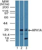 APH1 Antibody in Western Blot (WB)