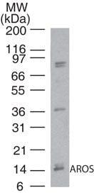 AROS Antibody in Western Blot (WB)