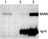 RANK Antibody in Western Blot (WB)