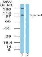 XPO4 Antibody in Western Blot (WB)