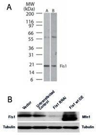 FIS1 Antibody in Western Blot (WB)