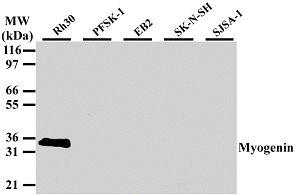 Myogenin Antibody in Western Blot (WB)