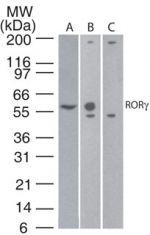 ROR gamma Antibody in Western Blot (WB)