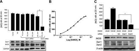 beta Actin Antibody