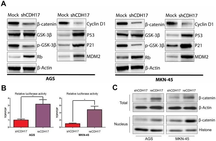 MDM2 Antibody