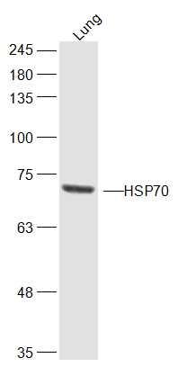 HSP70 1A/1B Antibody in Western Blot (WB)