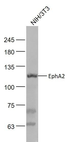 EphA2 Antibody in Western Blot (WB)