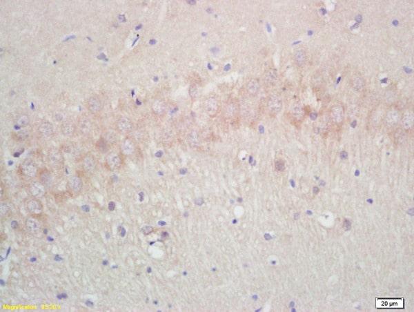 Aquaporin 4 Antibody in Immunohistochemistry (Paraffin) (IHC (P))