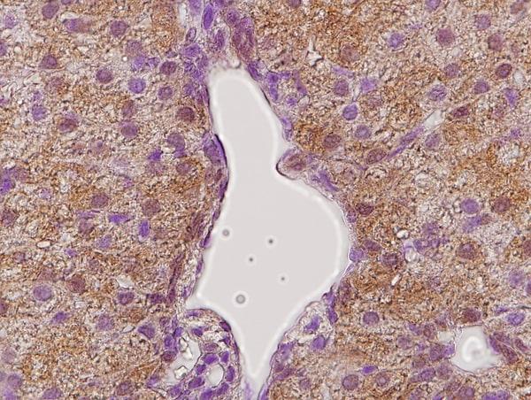 GHR Antibody in Immunohistochemistry (Paraffin) (IHC (P))