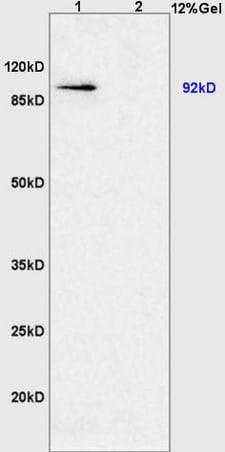 HIF-1 Alpha Antibody in Western Blot (WB)