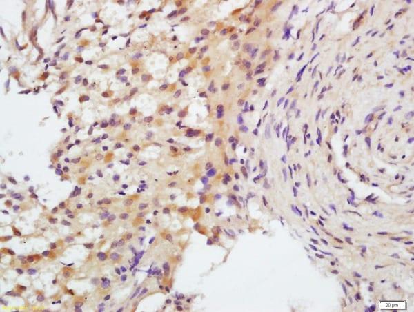 FSH receptor Antibody in Immunohistochemistry (Paraffin) (IHC (P))