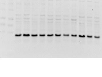 Leptin receptor Antibody in Western Blot (WB)