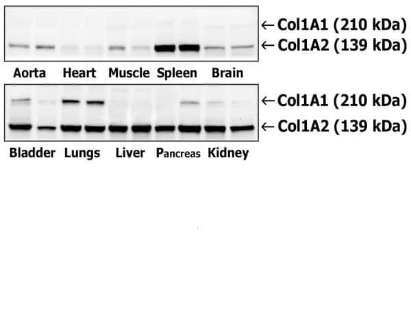 Collagen 1 Antibody in Western Blot (WB)
