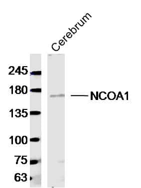 NCOA1 Antibody in Western Blot (WB)