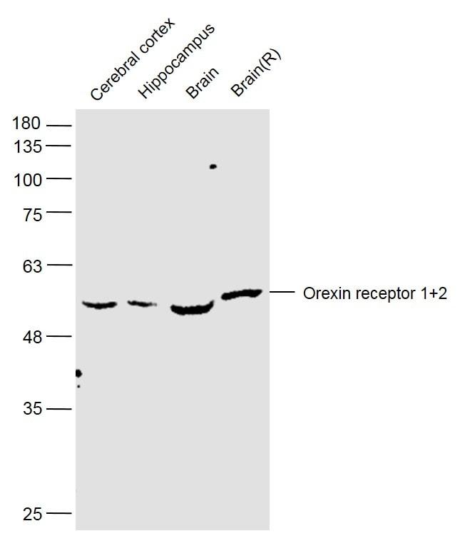 Orexin receptor 1+2 Antibody in Western Blot (WB)