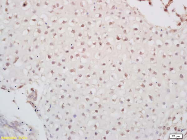 PAX6 Antibody in Immunohistochemistry (Paraffin) (IHC (P))