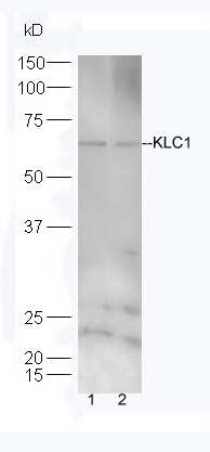KLC1/KNS2 Antibody in Western Blot (WB)