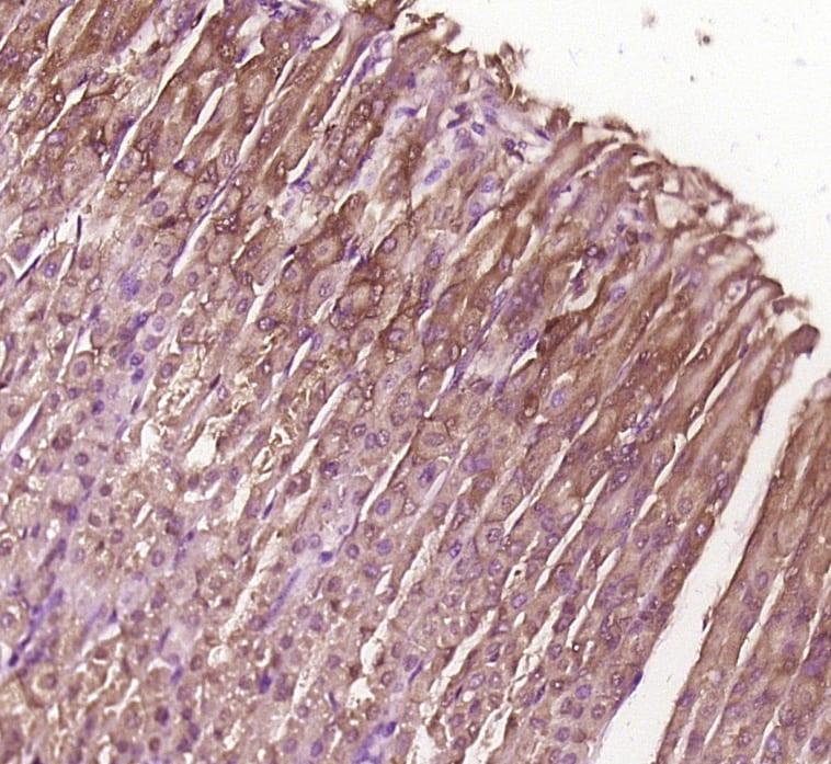BBS8/TTC8 Antibody in Immunohistochemistry (Paraffin) (IHC (P))