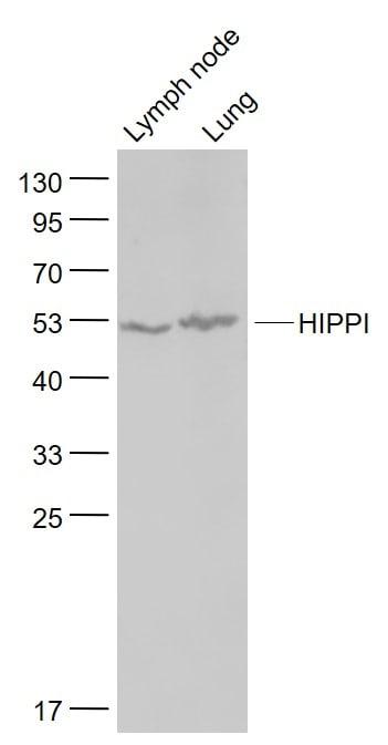HIPPI Antibody in Western Blot (WB)