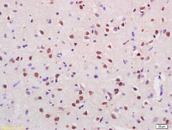 Cux2 Antibody in Immunohistochemistry (Paraffin) (IHC (P))