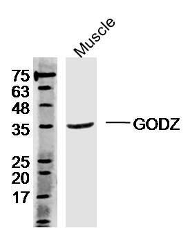ZDHHC3 Antibody in Western Blot (WB)