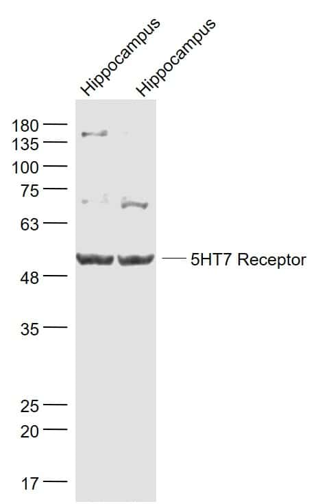 5HT7 Receptor/SR-7 Antibody in Western Blot (WB)
