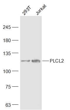 PLCL2 Antibody in Western Blot (WB)