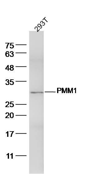 PMM1 Antibody in Western Blot (WB)